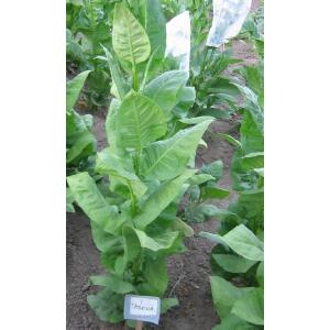 TASOVA tabaco (nicotiana tabacum) 500 semillas