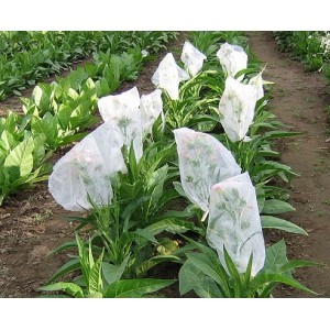 LITTLE DUTCH tobacco (nicotiana tabacum) 500 seeds
