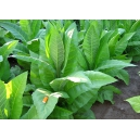 CATTERTON tabaco (nicotiana tabacum) 500 semillas