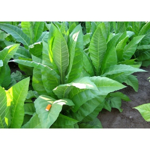 CATTERTON tobacco(nicotiana tabacum) 500 seeds