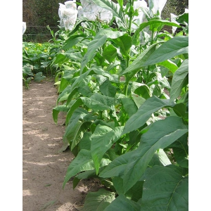 SMALL STALK BLACK MAMMOTH tabaco (Nicotiana tabacum) 500 semillas