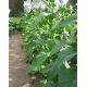 SMALL STALK BLACK MAMMOTH tobacco (Nicotiana tabacum) 500 seeds