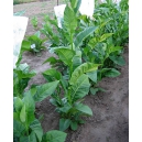 COSTA RICA tabac (nicotiana tabacum) 500 graines