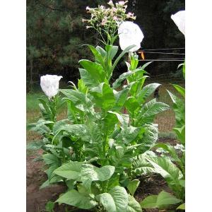 BANANA LEAF tabac (nicotiana tabacum) 500 graines
