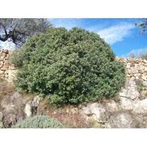 Pistacia lentiscus / Mastic, Lentisque 20 graines