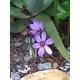 Crocus sativus / Azafrán