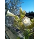 COROJO tobacco (nicotiana tabacum) 500 seeds