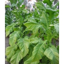 DelGold tobacco (nicotiana tabacum) 500 seeds