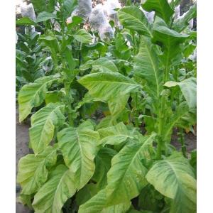 DEL GOLD tabaco (nicotiana tabacum) 500 semillas