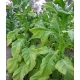 DelGold tabac (nicotiana tabacum) 500 graines
