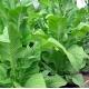 DelGold tabaco (nicotiana tabacum) 500 semillas