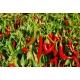 Cornicabra poivre (capsicum annum) 50 graines