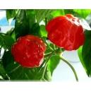 Scotch Bonnet pimiento, chile (Capsicum chinense) 40 semillas