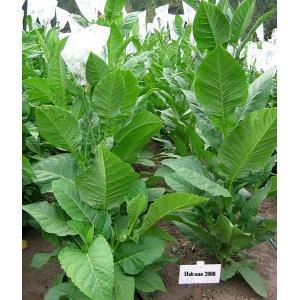 HABANO 2000 tabac (nicotiana tabacum) 500 graines