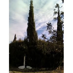 Cupressus sempervirens/ Ciprés común 150 semillas