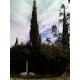 Cupressus sempervirens/ Italian Cypress 150 semillas
