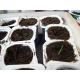 Cupressus sempervirens/ Ciprés común 200 semillas