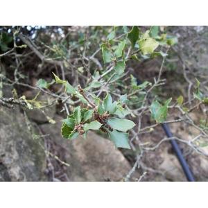 Quercus coccifera / Coscoja 10 seeds