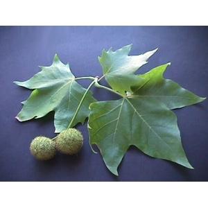 Platanus × hispanica / Platane 30  graines