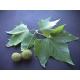 Platanus × hispanica / Plátano de sombra  30 semillas