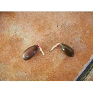 Quercus coccifera / Kermes ¡GERMINATED! 5 seeds