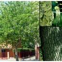 Acer negundo L. (Arce americano ) 10 semillas