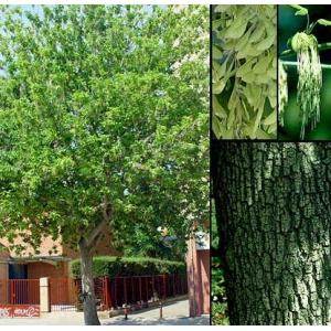 Acer negundo L. (Arce americano ) 20 semillas
