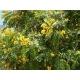 Tipuana Tipu / Tipuana 15 semillas
