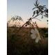 Rosa canina / Rosal silvestre 20 Semillas