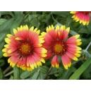 Gaillardia x grandiflora / Gallardía 30 semillas