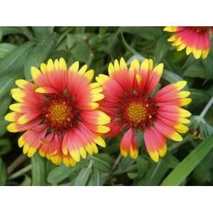 Gaillardia x grandiflora / Gaillardia 30 seeds