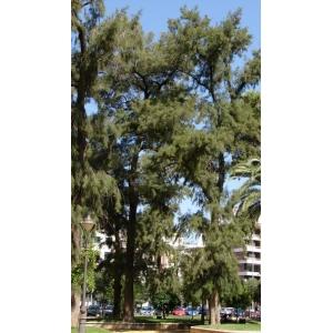 Casuarina equisetifolia L. / australiens Pine 25 Graines