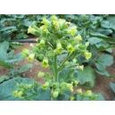 Nicotiana Rustica / Mapacho 1000 semillas