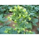 Nicotiana Rustica / Mapacho tabac 1000 graines