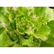 Lactuca sativa/ Lechuga Maravilla de Verano 0.5 gr. (+ 400 semillas)