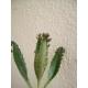 Kalanchoe daigremontiana / Bryophyllum daigremontianum (Espinazo del diablo) 10 Hijuelos