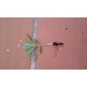 Kalanchoe daigremontiana x Kalanchoe delagoensis (madre de miles)  2  planta, de 2-5 cm.