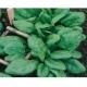 """Spinacia oleracea / épinards 'Géant d'hiver """"100 Graines"""