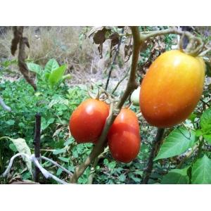 Tomate Roma / Solanum Lycopersicum L. var. roma 100 graines