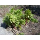 Levisticum officinale / Leustean, Apio de monte 100 semillas