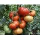 Tomate Marmande / Solanum lycopersicum 100 graines