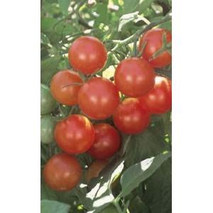 Tomate Cherry  / Lycopersicum pimpinellifolium L. 100 Semillas