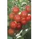 Tomate cerise / LYCOPERSICUM pimpinellifolium L. 100 graines