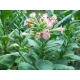 IZMIR Tabac oriental 500 graines (Nicotiana tabacum var. Izmir)