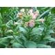 IZMIR Tobacco oriental  (Nicotiana tabacum var. Izmir) 500 seeds