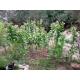 IZMIR Tabaco oriental 500 semillas (Nicotiana tabacum var. Izmir)