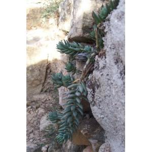 Sedum sediforme / Pale Stonecrop 1 plant