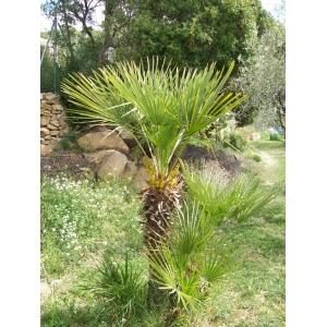 Chamaerops humilis (Palmetto, paume de la Méditerranée) 10 graines