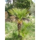 Chamaerops humilis (European Fan Palm) 10 seeds
