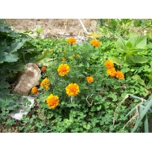 Tagetes patula / French Marigold 30 Seeds